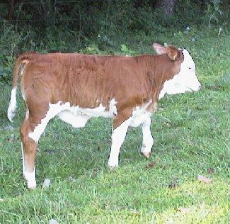 Beefmaster color